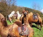 Kamele tummeln sich bei Schweinsteiger Reisen am 12. Juli auf dem Neubeurer Marktplatz.