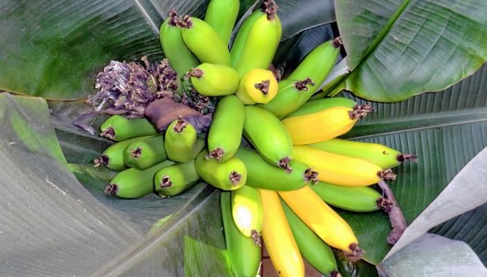 Bananen wie aus dem Bilderbuch – gewachsen in einem Wintergarten in Raubling. Foto: Burgmaier