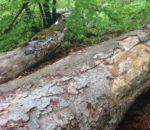Die umgelegten Bäume als Totholz im Naturschutzgebiet.