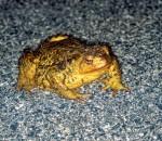 Überfahre nie einen Frosch – es könnte (d)ein Prinz gewesen sein. Foto: LBV