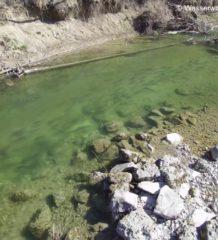 Flussaufwärts ziehende Nasen in der Mangfall im Frühjahr 2018. Foto: Wasserwirtschaftsamt Rosenheim