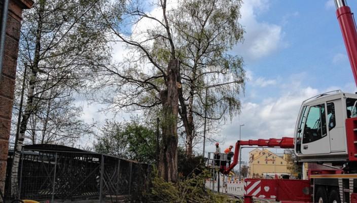 Bauarbeiten entzogen der Pappel in der Luitpoldstraße in Rosenheim den Untergrund – aus Sicherheitsgründen wurde sie gefällt.