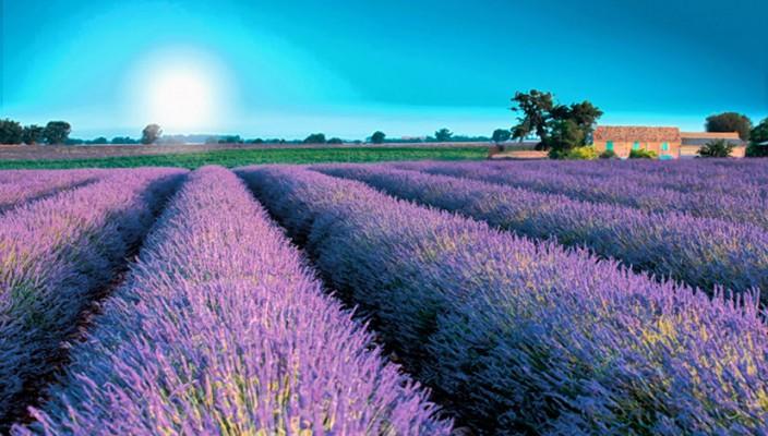 Herrlicher Duft und ganz besondere Wirkung: Lavendel.