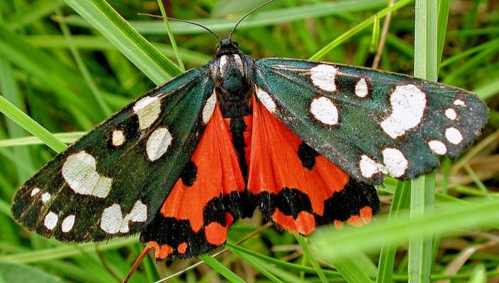 Der Schönbär (Foto) war im Jahr 2010 der Schmetterling des Jahres – und wirklich ein Prachtexemplar.