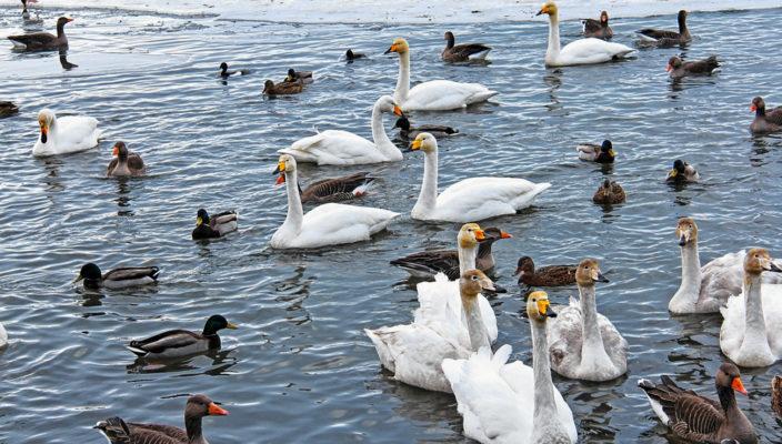 Auch wenn so mancher Mensch es gut meint: Die Fütterung von Wasservögeln schadet den Tieren. Foto: pixabay